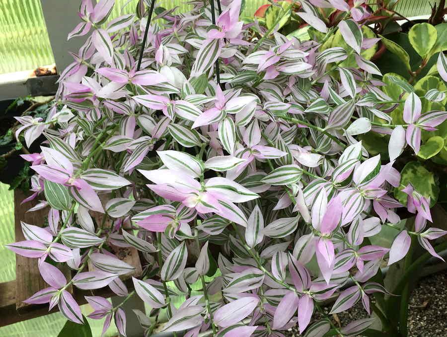 Kartuz Greenhouses Tradescantia Fluminensis Lavender