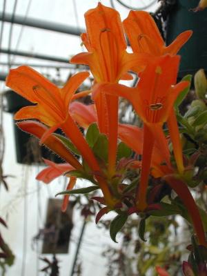 goldfish plant. goldfish plant. columnea into