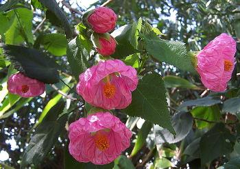 Kartuz Greenhouses Abutilon X Hybridum Satin Pink Belle