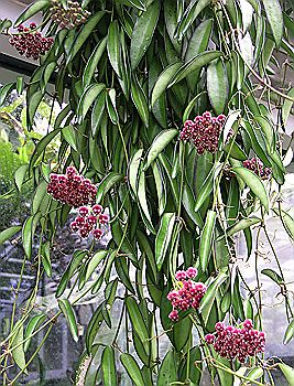 Paving furthermore Gardening With Raised Beds also Bridges as well Watch furthermore Hoya angustifolia. on images of garden designs for small gardens