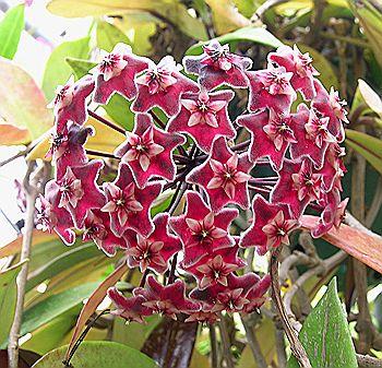 Kartuz Greenhouses Hoya Pubicalyx Red Buttons