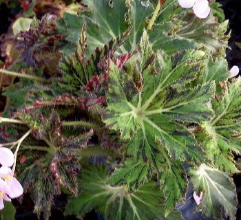 Kartuz Greenhouses: Begonia Palomar Prince