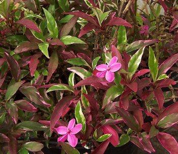 Graculus in addition Pseuderanthemum Purple Dazzler Variegated also Peshwe mandir furthermore Carissa macrocarpa Humphreyi Variegata further Small ngc891. on small green