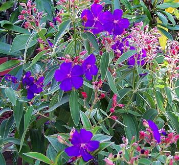 Kartuz Greenhouses Tibouchina Urvilleana Athens Blue