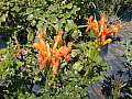 Tecomaria capensis Orange