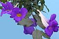 Thunbergia erecta Granada Purple