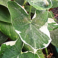 Xanthosoma sagittifolium Albomarginatum Monstrosum