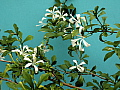 Turrea obtusifolia