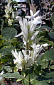 Whitfieldia longifolia