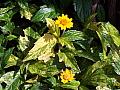 Wedelia trilobata Texas Gold
