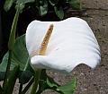 Zantedeschia aethiopica Hercules