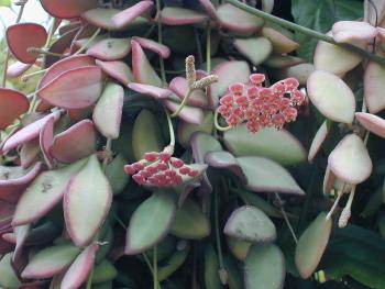 Kartuz Greenhouses Hoya Tsangii