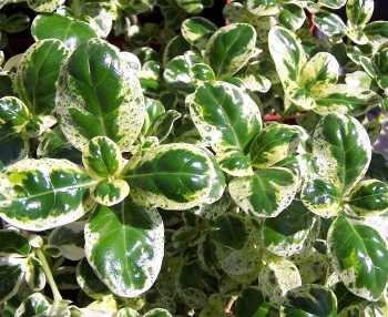 Kartuz Greenhouses Coprosma Repens Marble Queen