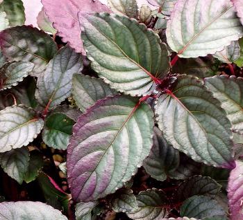 Kartuz greenhouses hemigraphis alternata for Nombres d plantas ornamentales