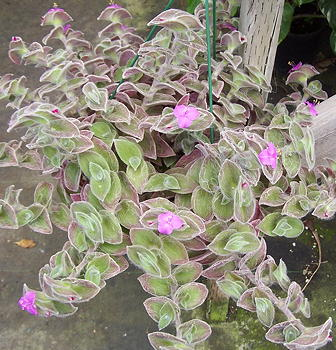 Wandering Jew Plant Care Types and Growing Tips